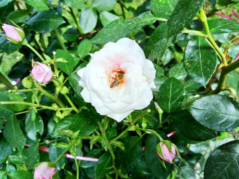 桃红色在有里面蜂的庭院里上升了 免版税库存照片