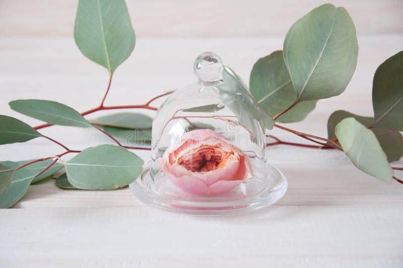 桃红色在桉树围拢的玻璃盖下的招标玫瑰色花 免版税库存图片