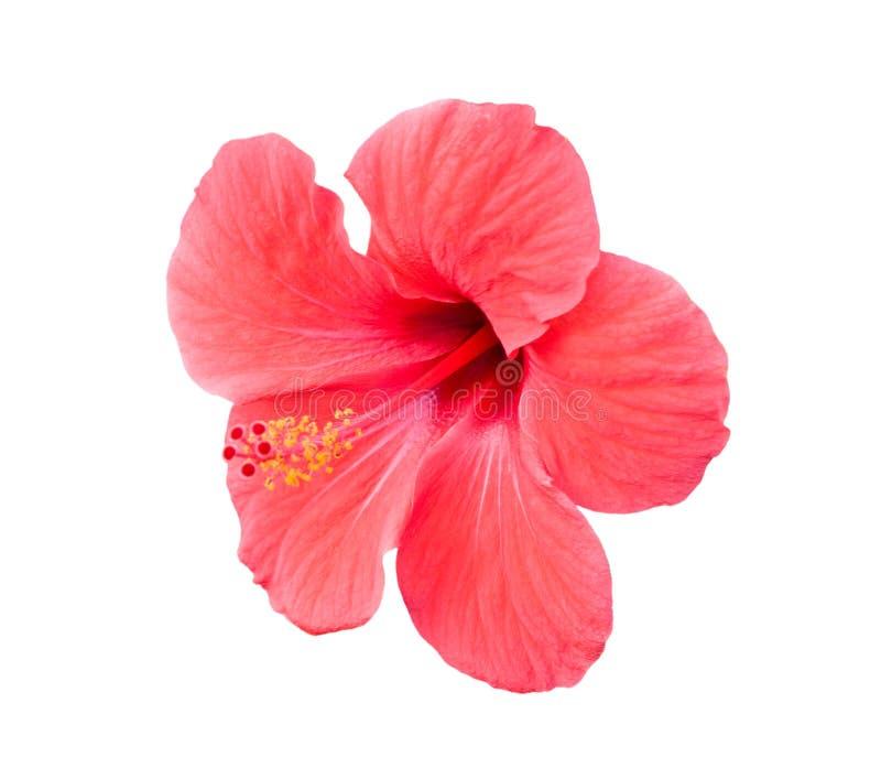 桃红色在白色的木槿热带花 免版税库存照片
