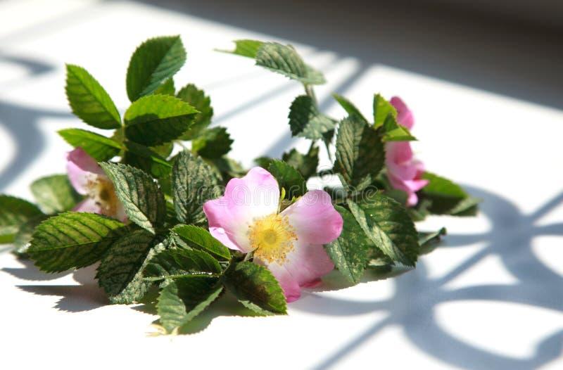 桃红色在窗台的花开花的dogrose与美丽的sha 免版税库存照片