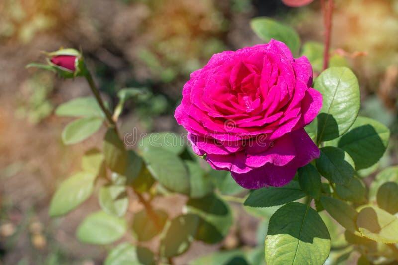 桃红色在绿色公园背景上升了  桃红色在公园上升了在灌木的特写镜头 免版税图库摄影