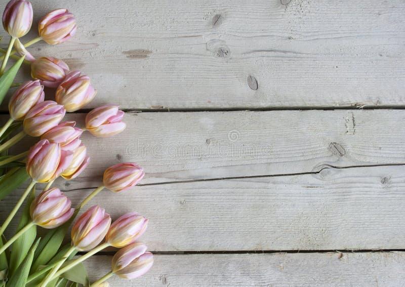 桃红色在被风化的谷仓木头背景的荷兰人开花的郁金香 免版税图库摄影