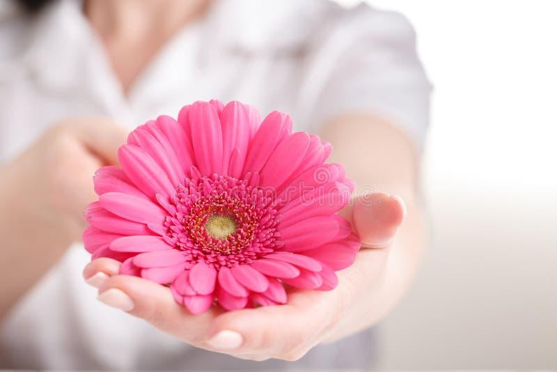 桃红色大丁草在女性手,妇科学概念上 免版税库存照片