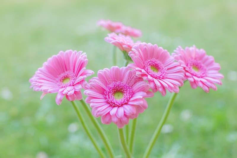 桃红色大丁草雏菊在被弄脏的绿色背景开花 选择聚焦 库存照片