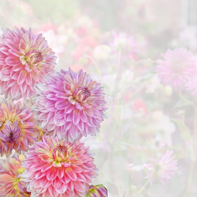 桃红色大丽花-庭院背景 库存照片