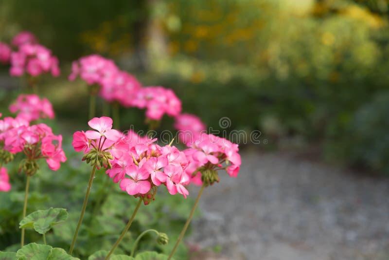 桃红色大竺葵特写镜头开花开花在与起斑纹的阳光的庭院路旁边在背景中 免版税库存照片