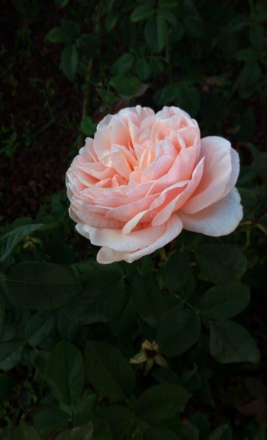 桃红色女士起来了 开花的弹簧的美好的模范开放标志 免版税库存图片