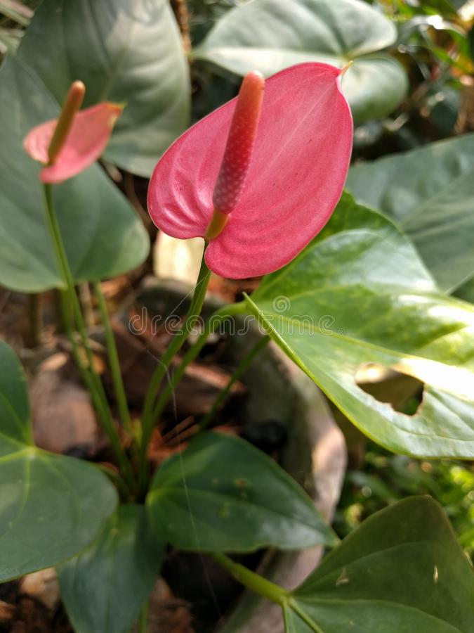 桃红色安祖花花在斯里兰卡 免版税库存图片