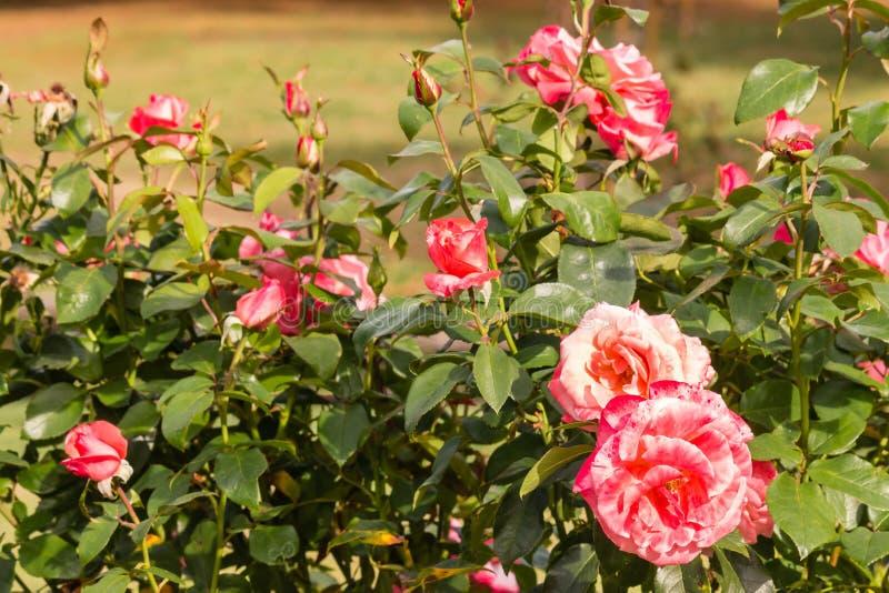 桃红色庭院玫瑰床在绽放的 图库摄影