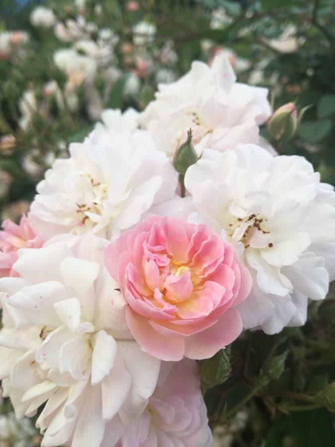 桃红色庭院玫瑰 库存图片
