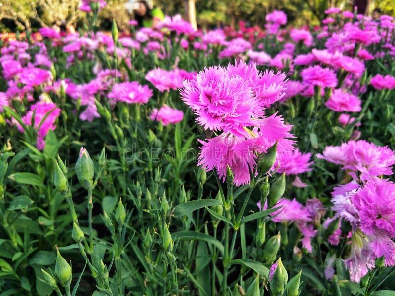 桃红色康乃馨在庭院里 免版税库存图片