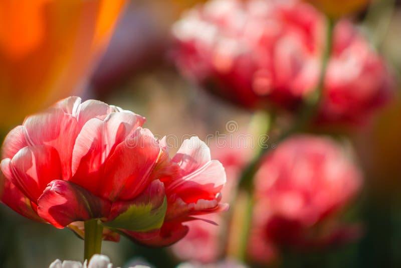 桃红色康乃馨接近的射击在绽放的在一个晴朗的春日 库存图片