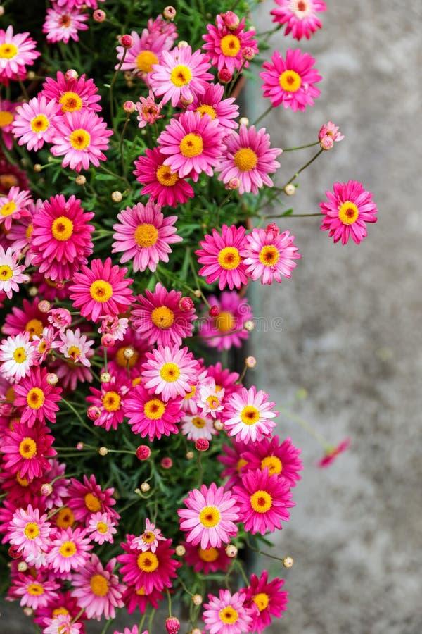 桃红色延命菊花园床在春天 库存照片