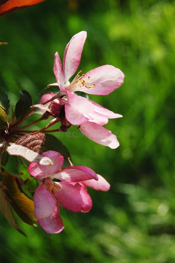 桃红色开花树选择聚焦在春天在绿色背景 春天…上升了叶子,自然本底 关闭,垂直的图象 库存图片