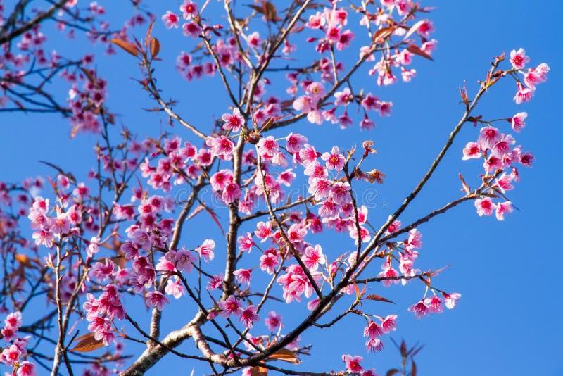 桃红色开花樱花或佐仓花与与蓝天 库存照片
