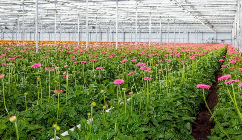 桃红色开花的大丁草自荷兰温室种植生长 图库摄影
