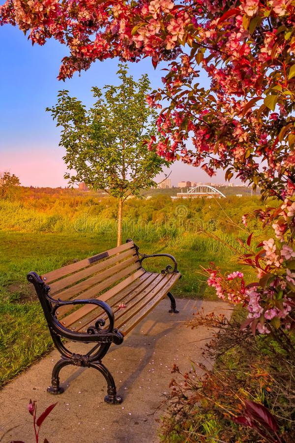 桃红色开花的树和长凳风景 免版税图库摄影