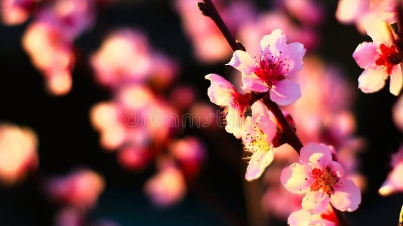 桃红色开花的树在春天 免版税图库摄影