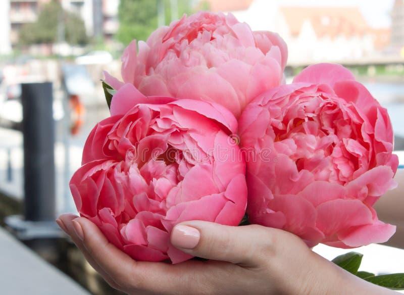 桃红色开花的牡丹在手上 免版税库存图片