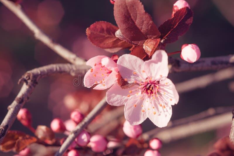 桃红色开花- blloming的树的大被张开的和小闭合的芽在分支的 免版税库存图片