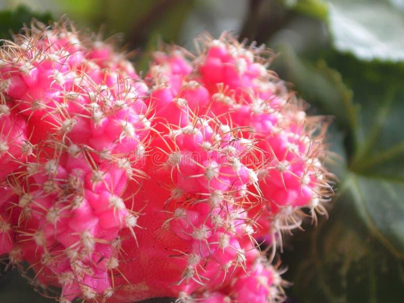 桃红色微型仙人掌特写镜头Gymnocalycium mihanovichii friedrichii 免版税库存图片