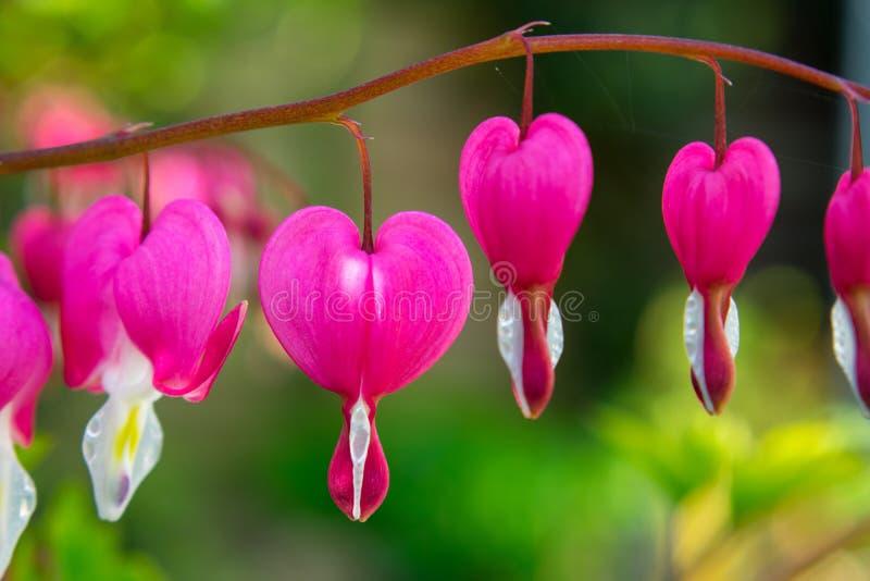 桃红色心脏出血厂,荷包牡丹属植物Spectabilis 图库摄影