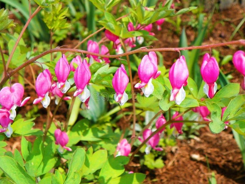 桃红色心脏出血春天四季不断的树荫植物 库存照片