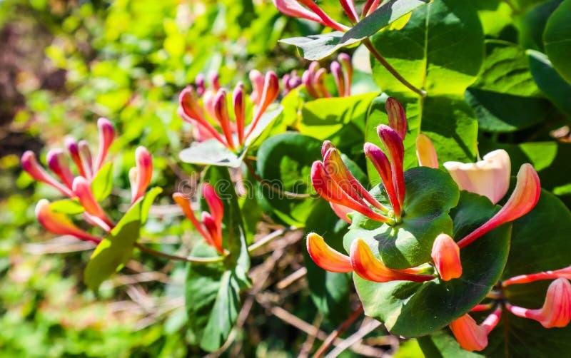 桃红色忍冬属植物花的关闭在庭院里 忍冬属caprifolium花、共同的在绽放的名字忍冬属植物或忍冬属植物 免版税库存图片