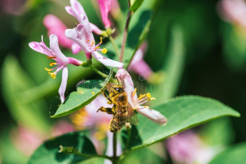 桃红色忍冬属植物花的黄色花粉盖的蜂蜜蜂 库存照片