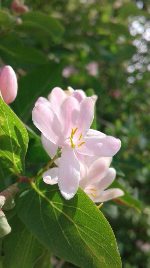 桃红色忍冬属植物花 甜芳香精美小花  库存图片
