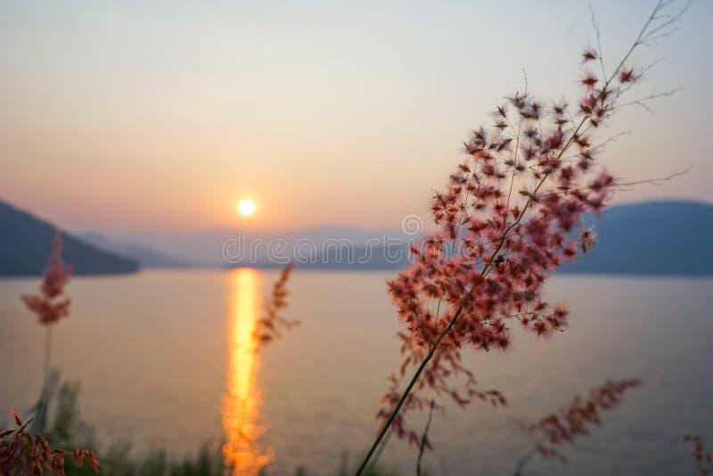 桃红色新生草 库存照片