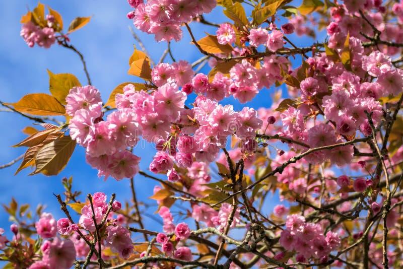 桃红色日本樱花在春天天空蔚蓝 库存照片