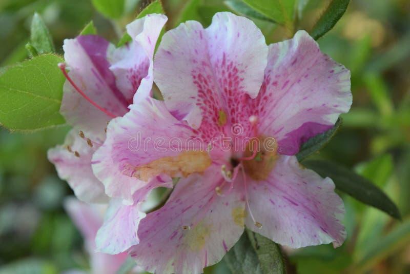 桃红色春天乳脂状的梦想admist绿色 库存照片