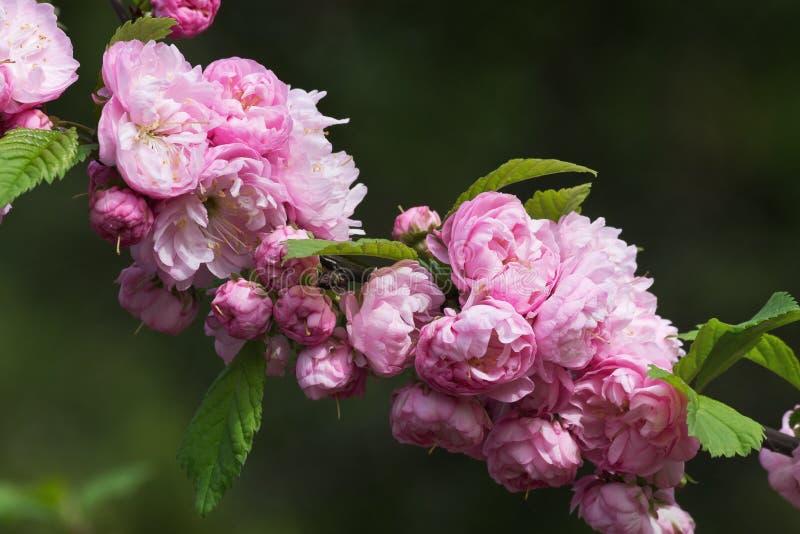 桃红色春天开花杏仁 免版税图库摄影