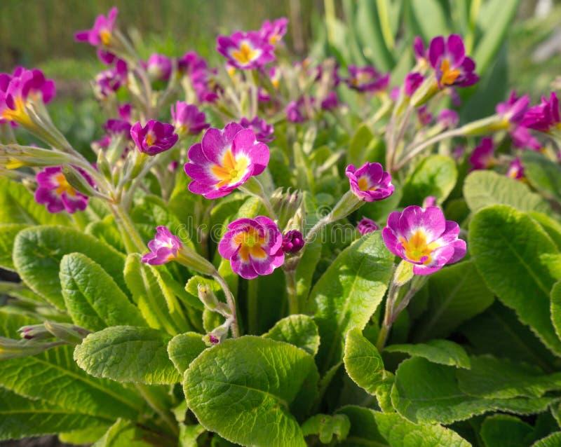 桃红色春天花在庭院里 开花的樱草属或报春花 库存图片