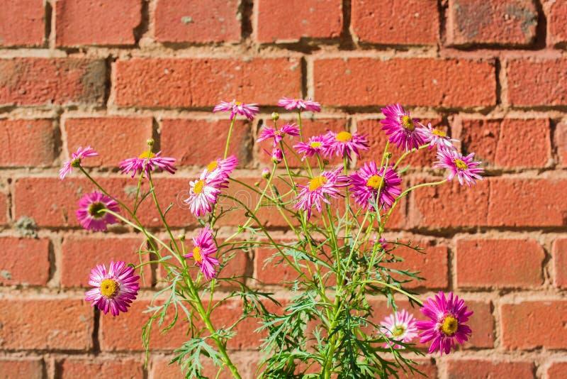 Download 桃红色春黄菊开花在红砖背景的除虫菊植雏菊 库存图片. 图片 包括有 颜色, 户外, 本质, 叶子, 照亮 - 72367893