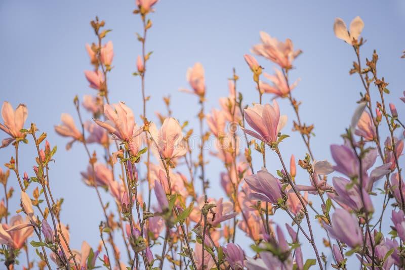 桃红色木兰枝杈美丽的开花在阳光的 库存图片