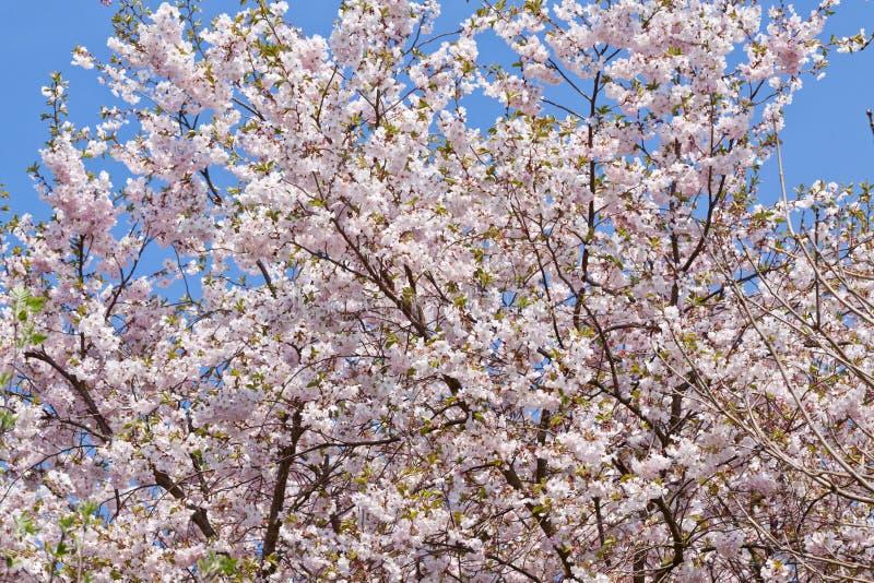 桃红色木兰树花室外在春天 库存照片