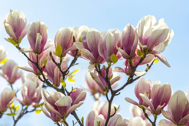 桃红色木兰花在庭院里 库存照片