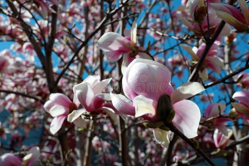 桃红色木兰花接近的看法在天空蔚蓝背景进展 免版税图库摄影