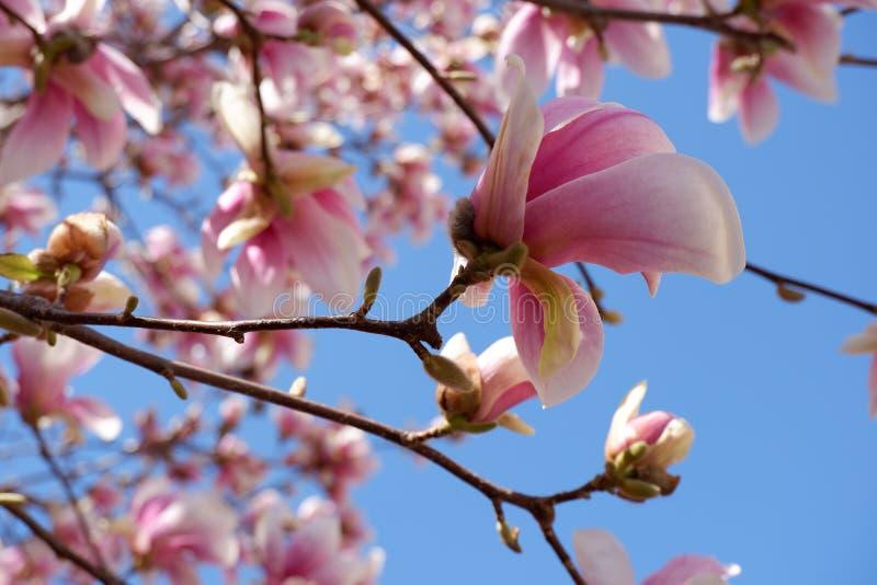 桃红色木兰花接近的看法在天空蔚蓝背景进展 免版税库存图片