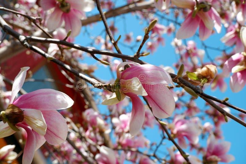 桃红色木兰花接近的看法在天空蔚蓝背景进展 库存图片
