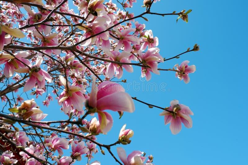 桃红色木兰花接近的看法在天空蔚蓝背景进展 免版税库存照片