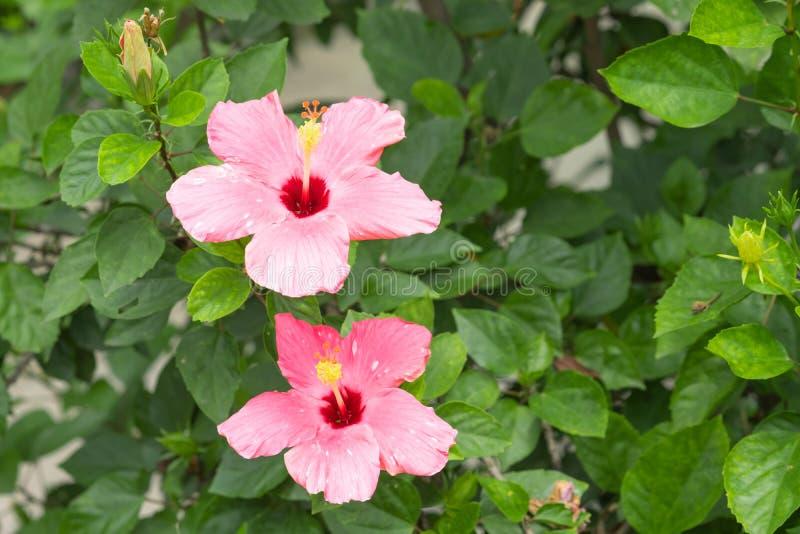 桃红色木槿或汉语在庭院里上升了 库存照片