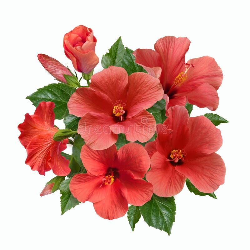 桃红色木槿花和芽花束  免版税库存照片