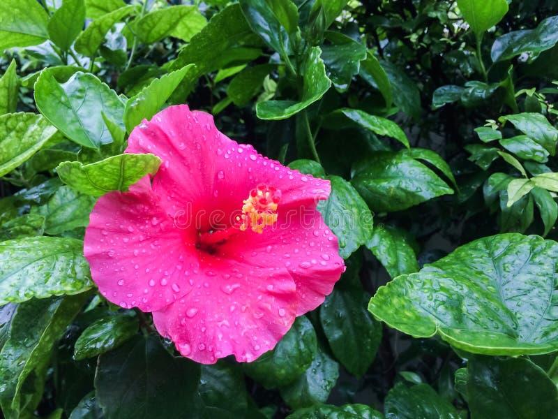 桃红色木槿花是在有水滴在瓣的绿色叶子颜色背景的开花 免版税图库摄影
