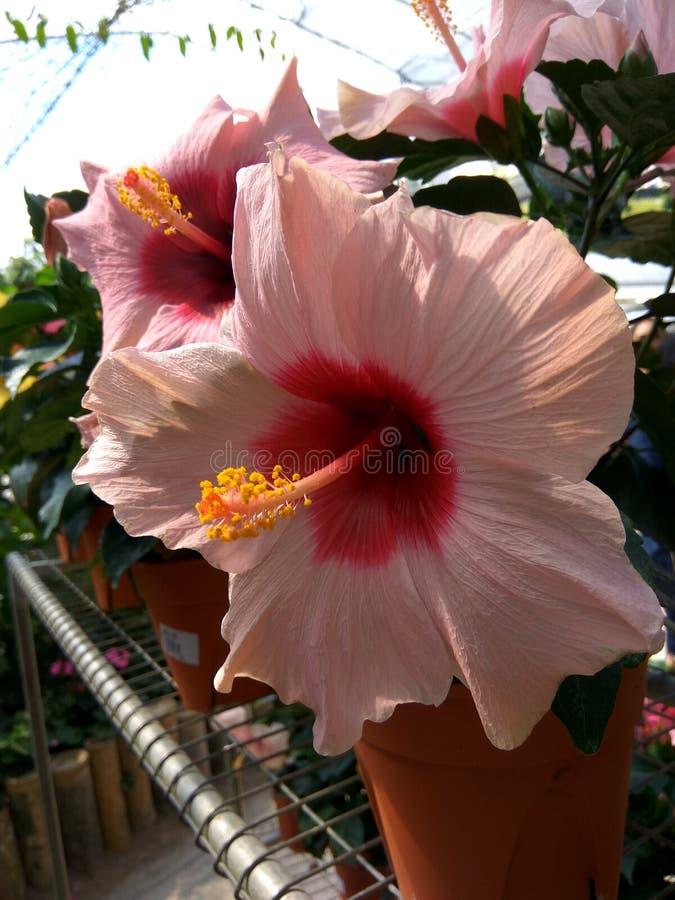 桃红色木槿花 图库摄影