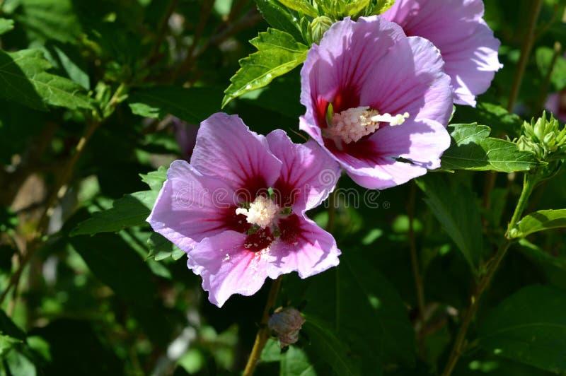 桃红色木槿Syriacus花特写镜头,沙仑的玫瑰花,自然,宏指令 库存图片