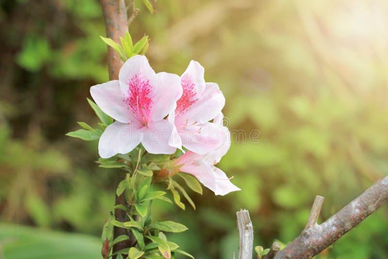 桃红色杜娟花在公园 库存图片
