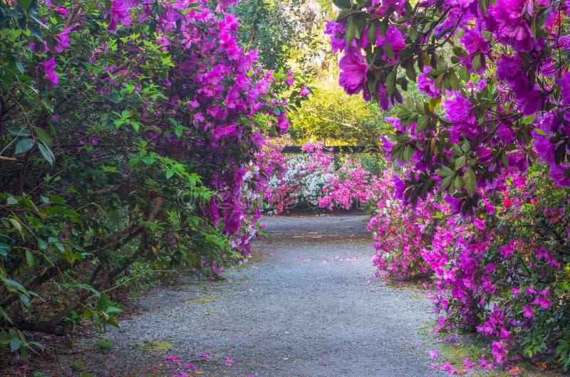 桃红色杜娟花庭院在查尔斯顿SC的 库存图片